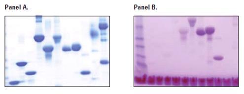 糖蛋白染色试剂盒操作步骤