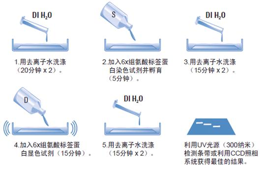 6x组氨酸标签蛋白染色试剂盒