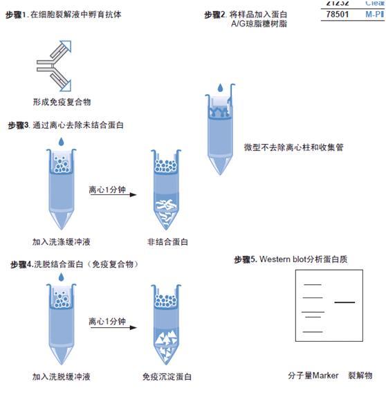 经典的免疫沉淀试剂盒