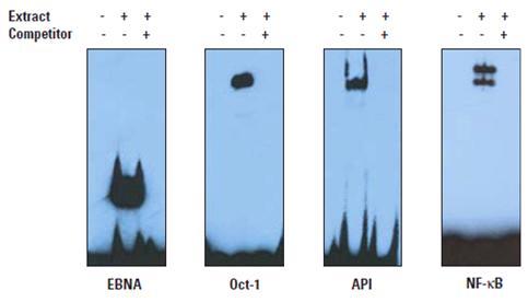 化学发光EMSA试剂盒简介 - 劢瑞生物 - 劢瑞生物