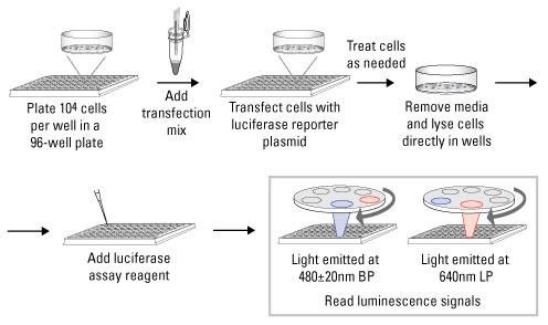 双荧光素酶检测试剂盒