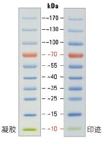 SDS-PAGE band profile of the Thermo Scientific PageRuler Prestained Protein Ladder.